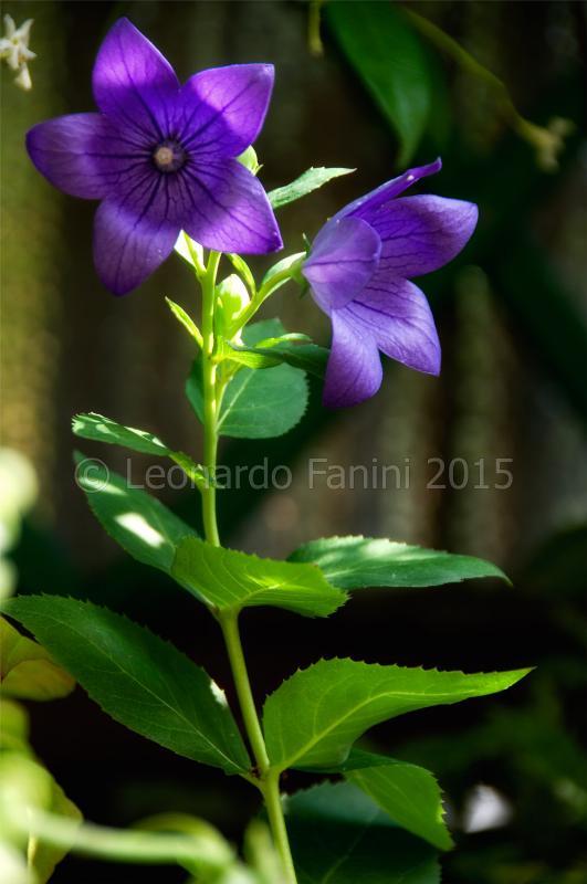Due fiori di platicodon in contro luce