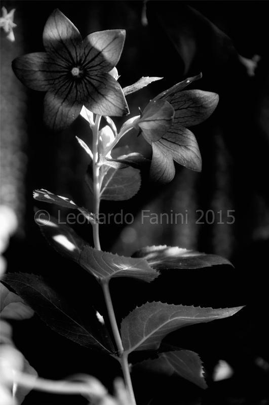 platycodon in bianco e nero